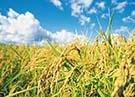 沙漠水稻种植